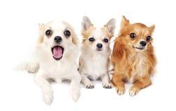 Tres chihuahuas que mienten en línea en blanco Fotos de archivo libres de regalías