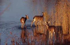 Tres ciervos de Whitetail en agua Fotografía de archivo
