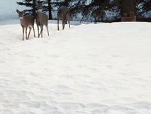 Tres ciervos en nieve Fotografía de archivo