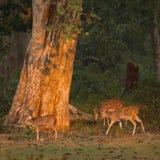 Tres ciervos manchados en el amanecer en Nepal Foto de archivo