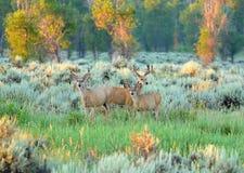 Tres ciervos mula en la madrugada se encienden en el parque nacional magnífico de Teton Foto de archivo