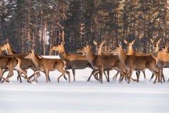Tres ciervos nobles le colocan inmóvil entre la manada corriente en el fondo del invierno Forest And Look Closely At Una manada d imagenes de archivo