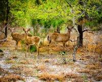 Tres ciervos que se colocan en bosque foto de archivo libre de regalías