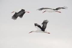 Tres cigüeñas blancas que vuelan Foto de archivo libre de regalías