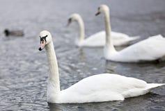 Tres cisnes Fotos de archivo