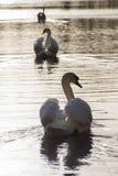 Tres cisnes en campo común de la charca ornamental, Southampton Fotos de archivo libres de regalías