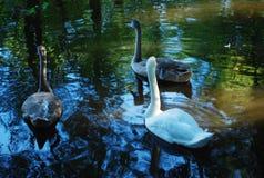 Tres cisnes en el agua Imagen de archivo