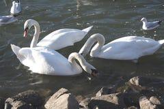 Tres cisnes en un río Foto de archivo libre de regalías