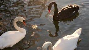 Tres cisnes nadan en el lago almacen de video