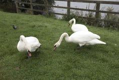 Tres cisnes que pastan en hierba verde Fotos de archivo