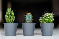 Tres clases de cactus verdes en un fondo gris Planta nacional suculenta imagen de archivo
