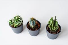 Tres clases de cactus verdes en un fondo gris Planta nacional suculenta imágenes de archivo libres de regalías