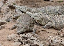 Tres cocodrilos de reclinación del Nilo en Kenia. Imagenes de archivo