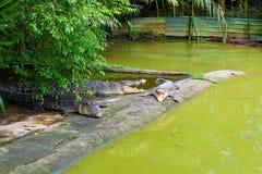 Tres cocodrilos grandes que descansan sobre una plataforma de alimentación en esta granja en Kuching, Sarawak imagenes de archivo