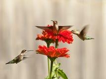 Tres colibríes Fotografía de archivo libre de regalías