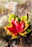 Tres colores del otoño fotografía de archivo libre de regalías