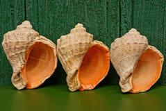 Tres conchas marinas grandes del marrón del mar en una tabla cerca de una pared verde fotos de archivo libres de regalías