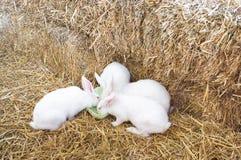 Tres conejos en granja Fotografía de archivo libre de regalías