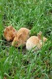 Tres conejos que aterrizan en hierba imágenes de archivo libres de regalías