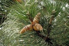 Tres conos de abeto en árbol Foto de archivo