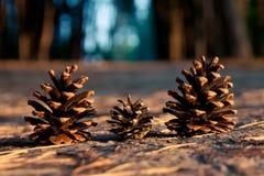 Tres conos del pino Imagen de archivo