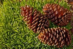 Tres conos del pino Foto de archivo libre de regalías