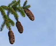 Tres conos del pino contra un cielo azul Foto de archivo libre de regalías