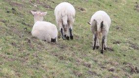 Tres corderos blancos en el dique que pastan, pascua almacen de metraje de vídeo