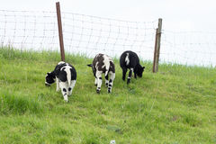 Tres corderos en el dique que comen la hierba Imagen de archivo