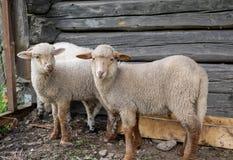 Tres corderos jovenes que miran adentro a la c?mara foto de archivo
