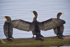 Tres Cormorans Imagenes de archivo