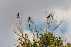 Tres cuervos negros en una ramificación Foto de archivo libre de regalías