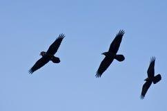 Tres cuervos negros que vuelan en un cielo azul fotografía de archivo