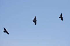 Tres cuervos negros que vuelan en un cielo azul foto de archivo libre de regalías