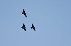 Tres cuervos negros que vuelan en un cielo azul fotografía de archivo libre de regalías
