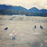Tres cuervos y pequeño perro Fotografía de archivo libre de regalías