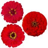 Tres de la flor del zinnia fotos de archivo
