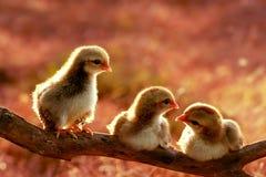 Tres de polluelos lindos Foto de archivo