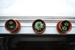 Tres de succulents de una clase en un travesaño de la ventana Foto de archivo