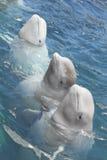 Tres delfínes Fotografía de archivo