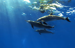 Tres delfínes hermosos que presentan bajo el agua Fotografía de archivo