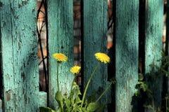 Tres dientes de león amarillos en un fondo de una cerca pintada verde estúpido escamosa hecha de tablones fotos de archivo libres de regalías