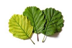 Tres diversas hojas coloreadas Foto de archivo libre de regalías