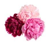 Tres diversas peonías del color Imagenes de archivo