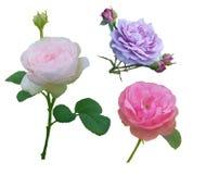 Tres diversos brotes de las rosas del color Foto de archivo libre de regalías