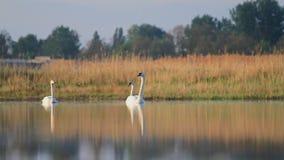 Tres diversos cisnes que flotan en el lago almacen de video