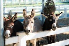Tres donky en la granja Fotografía de archivo