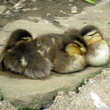 Tres duclings Foto de archivo libre de regalías