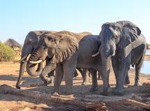 Tres elefantes de Bull grandes que beben de un waterhole en Nehimba, parque nacional de Hwange, Zimbabwe foto de archivo