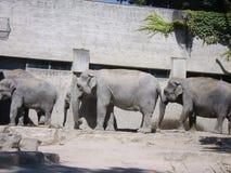 Tres elefantes en el PARQUE ZOOLÓGICO de Zurich, SUIZO imágenes de archivo libres de regalías